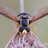 Xanthogramma citrofasciatum - Žiedmusė | Fotografijos autorius : Arūnas Eismantas | © Macrogamta.lt | Šis tinklapis priklauso bendruomenei kuri domisi makro fotografija ir fotografuoja gyvąjį makro pasaulį.