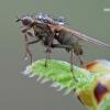 Scathophaga stercoraria – Geltonoji mėšlamusė | Fotografijos autorius : Arūnas Eismantas | © Macrogamta.lt | Šis tinklapis priklauso bendruomenei kuri domisi makro fotografija ir fotografuoja gyvąjį makro pasaulį.