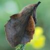 Gastropacha quercifolia - Ąžuolalapis verpikas | Fotografijos autorius : Arūnas Eismantas | © Macrogamta.lt | Šis tinklapis priklauso bendruomenei kuri domisi makro fotografija ir fotografuoja gyvąjį makro pasaulį.