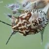 Carpocoris purpureipennis - Rausvasparnė skydblakė | Fotografijos autorius : Arūnas Eismantas | © Macrogamta.lt | Šis tinklapis priklauso bendruomenei kuri domisi makro fotografija ir fotografuoja gyvąjį makro pasaulį.