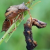 Picromerus bidens - Dvispyglė skydblakė | Fotografijos autorius : Arūnas Eismantas | © Macrogamta.lt | Šis tinklapis priklauso bendruomenei kuri domisi makro fotografija ir fotografuoja gyvąjį makro pasaulį.