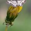 Paprastasis margasprindis - Lomaspilis marginata | Fotografijos autorius : Arūnas Eismantas | © Macrogamta.lt | Šis tinklapis priklauso bendruomenei kuri domisi makro fotografija ir fotografuoja gyvąjį makro pasaulį.