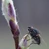 Žiedenė - Leucophora sp.   Fotografijos autorius : Arūnas Eismantas   © Macrogamta.lt   Šis tinklapis priklauso bendruomenei kuri domisi makro fotografija ir fotografuoja gyvąjį makro pasaulį.