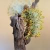 Žieminis ilgasparniukas - Lithophane furcifera | Fotografijos autorius : Arūnas Eismantas | © Macrogamta.lt | Šis tinklapis priklauso bendruomenei kuri domisi makro fotografija ir fotografuoja gyvąjį makro pasaulį.