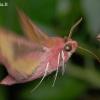 Mažasis sfinksas - Deilephila porcellus  | Fotografijos autorius : Arūnas Eismantas | © Macrogamta.lt | Šis tinklapis priklauso bendruomenei kuri domisi makro fotografija ir fotografuoja gyvąjį makro pasaulį.