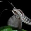 Pušinis sfinksas - Hyloicus pinastri | Fotografijos autorius : Arūnas Eismantas | © Macrogamta.lt | Šis tinklapis priklauso bendruomenei kuri domisi makro fotografija ir fotografuoja gyvąjį makro pasaulį.