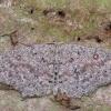 Tamsusis taškasprindis - Cyclophora pendularia | Fotografijos autorius : Arūnas Eismantas | © Macrogamta.lt | Šis tinklapis priklauso bendruomenei kuri domisi makro fotografija ir fotografuoja gyvąjį makro pasaulį.
