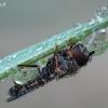 Rytas Plokštinėje - 3 | Fotografijos autorius : Arūnas Eismantas | © Macrogamta.lt | Šis tinklapis priklauso bendruomenei kuri domisi makro fotografija ir fotografuoja gyvąjį makro pasaulį.