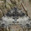 Tamsiajuostis skiautenis - Lobophora halterata | Fotografijos autorius : Arūnas Eismantas | © Macrogamta.lt | Šis tinklapis priklauso bendruomenei kuri domisi makro fotografija ir fotografuoja gyvąjį makro pasaulį.