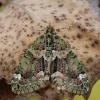 Žalsvoji cidarija - Chloroclysta siterata | Fotografijos autorius : Arūnas Eismantas | © Macrogamta.lt | Šis tinklapis priklauso bendruomenei kuri domisi makro fotografija ir fotografuoja gyvąjį makro pasaulį.