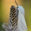 Baltoji meškutė - Spilosoma urticae   Fotografijos autorius : Arūnas Eismantas   © Macrogamta.lt   Šis tinklapis priklauso bendruomenei kuri domisi makro fotografija ir fotografuoja gyvąjį makro pasaulį.
