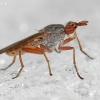 Sraigžudė - Elgiva cucularia | Fotografijos autorius : Arūnas Eismantas | © Macrogamta.lt | Šis tinklapis priklauso bendruomenei kuri domisi makro fotografija ir fotografuoja gyvąjį makro pasaulį.