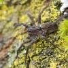 Šuolininkas - Pardosa lugubris s.str. | Fotografijos autorius : Arūnas Eismantas | © Macrogamta.lt | Šis tinklapis priklauso bendruomenei kuri domisi makro fotografija ir fotografuoja gyvąjį makro pasaulį.