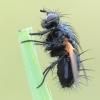Zophomyia temula - Dygliamusė | Fotografijos autorius : Arūnas Eismantas | © Macrogamta.lt | Šis tinklapis priklauso bendruomenei kuri domisi makro fotografija ir fotografuoja gyvąjį makro pasaulį.