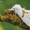 Leucodonta bicoloria - Dvispalvis kuoduotis   Fotografijos autorius : Arūnas Eismantas   © Macrogamta.lt   Šis tinklapis priklauso bendruomenei kuri domisi makro fotografija ir fotografuoja gyvąjį makro pasaulį.