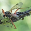 Tanyptera atrata - Ilgakojis uodas | Fotografijos autorius : Arūnas Eismantas | © Macrogamta.lt | Šis tinklapis priklauso bendruomenei kuri domisi makro fotografija ir fotografuoja gyvąjį makro pasaulį.