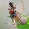 Krabvoris - Xysticus sp.  | Fotografijos autorius : Arūnas Eismantas | © Macrogamta.lt | Šis tinklapis priklauso bendruomenei kuri domisi makro fotografija ir fotografuoja gyvąjį makro pasaulį.