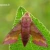 Deilephila porcellus - Mažasis sfinksas | Fotografijos autorius : Darius Baužys | © Macrogamta.lt | Šis tinklapis priklauso bendruomenei kuri domisi makro fotografija ir fotografuoja gyvąjį makro pasaulį.
