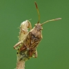 Rhopalus subrufus - Dryžapilvė kampuotblakė | Fotografijos autorius : Darius Baužys | © Macrogamta.lt | Šis tinklapis priklauso bendruomenei kuri domisi makro fotografija ir fotografuoja gyvąjį makro pasaulį.