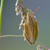 Aelia acuminata - Smailiagalvė skydblakė   Fotografijos autorius : Darius Baužys   © Macrogamta.lt   Šis tinklapis priklauso bendruomenei kuri domisi makro fotografija ir fotografuoja gyvąjį makro pasaulį.