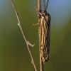 Spiris striata - Brūkšniuotoji meškutė | Fotografijos autorius : Darius Baužys | © Macrogamta.lt | Šis tinklapis priklauso bendruomenei kuri domisi makro fotografija ir fotografuoja gyvąjį makro pasaulį.