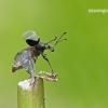 Phyllobius pomaceus - Dilgėlinis lapinukas   Fotografijos autorius : Darius Baužys   © Macrogamta.lt   Šis tinklapis priklauso bendruomenei kuri domisi makro fotografija ir fotografuoja gyvąjį makro pasaulį.