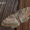 Hydria [=Rheumaptera] undulata - Margajuostis sprindžius   Fotografijos autorius : Darius Baužys   © Macrogamta.lt   Šis tinklapis priklauso bendruomenei kuri domisi makro fotografija ir fotografuoja gyvąjį makro pasaulį.
