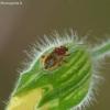 Rhopalus parumpunctatus - Raudonpilvė kampuotblakė | Fotografijos autorius : Darius Baužys | © Macrogamta.lt | Šis tinklapis priklauso bendruomenei kuri domisi makro fotografija ir fotografuoja gyvąjį makro pasaulį.