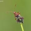 Dryžapilvė kampuotblakė - Rhopalus subrufus (Gmelin- 1790) | Fotografijos autorius : Darius Baužys | © Macrogamta.lt | Šis tinklapis priklauso bendruomenei kuri domisi makro fotografija ir fotografuoja gyvąjį makro pasaulį.