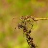Paprastoji skėtė - Sympetrum vulgatum, patinas | Fotografijos autorius : Darius Baužys | © Macrogamta.lt | Šis tinklapis priklauso bendruomenei kuri domisi makro fotografija ir fotografuoja gyvąjį makro pasaulį.