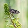 Lašalas - Ephemeroptera   Fotografijos autorius : Darius Baužys   © Macrogamta.lt   Šis tinklapis priklauso bendruomenei kuri domisi makro fotografija ir fotografuoja gyvąjį makro pasaulį.