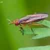 Sraigžudė - Limnia unguicornis  | Fotografijos autorius : Darius Baužys | © Macrogamta.lt | Šis tinklapis priklauso bendruomenei kuri domisi makro fotografija ir fotografuoja gyvąjį makro pasaulį.