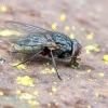 Tikramusė - Muscina stabulans  | Fotografijos autorius : Darius Baužys | © Macrogamta.lt | Šis tinklapis priklauso bendruomenei kuri domisi makro fotografija ir fotografuoja gyvąjį makro pasaulį.