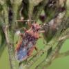 Raudonpilvė kampuotblakė - Rhopalus parumpunctatus | Fotografijos autorius : Darius Baužys | © Macrogamta.lt | Šis tinklapis priklauso bendruomenei kuri domisi makro fotografija ir fotografuoja gyvąjį makro pasaulį.