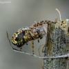 Ąžuolalapis verpstūnas - Aculepeira ceropegia   Fotografijos autorius : Romas Ferenca   © Macrogamta.lt   Šis tinklapis priklauso bendruomenei kuri domisi makro fotografija ir fotografuoja gyvąjį makro pasaulį.