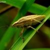 Aelia acuminata - Smailiagalvė skydblakė   Fotografijos autorius : Romas Ferenca   © Macrogamta.lt   Šis tinklapis priklauso bendruomenei kuri domisi makro fotografija ir fotografuoja gyvąjį makro pasaulį.