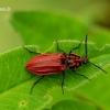 Anostirus purpureus - Raudonasis pievaspragšis | Fotografijos autorius : Romas Ferenca | © Macrogamta.lt | Šis tinklapis priklauso bendruomenei kuri domisi makro fotografija ir fotografuoja gyvąjį makro pasaulį.