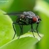 Žiedenė - Botanophila sp.   Fotografijos autorius : Romas Ferenca   © Macrogamta.lt   Šis tinklapis priklauso bendruomenei kuri domisi makro fotografija ir fotografuoja gyvąjį makro pasaulį.