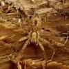 Anyphaena accentuata - Miškinis gležnavoris   Fotografijos autorius : Romas Ferenca   © Macrogamta.lt   Šis tinklapis priklauso bendruomenei kuri domisi makro fotografija ir fotografuoja gyvąjį makro pasaulį.
