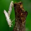Obelinė žiedinė sidabrakandė - Argyresthia curvella | Fotografijos autorius : Romas Ferenca | © Macrogamta.lt | Šis tinklapis priklauso bendruomenei kuri domisi makro fotografija ir fotografuoja gyvąjį makro pasaulį.