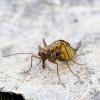 Skorpionmusė - Boreus westwoodi   Fotografijos autorius : Romas Ferenca   © Macrogamta.lt   Šis tinklapis priklauso bendruomenei kuri domisi makro fotografija ir fotografuoja gyvąjį makro pasaulį.