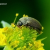 Byturus tomentosus - Paprastasis avietinukas | Fotografijos autorius : Romas Ferenca | © Macrogamta.lt | Šis tinklapis priklauso bendruomenei kuri domisi makro fotografija ir fotografuoja gyvąjį makro pasaulį.