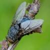 Lavonmusė - Calliphora uralensis | Fotografijos autorius : Romas Ferenca | © Macrogamta.lt | Šis tinklapis priklauso bendruomenei kuri domisi makro fotografija ir fotografuoja gyvąjį makro pasaulį.