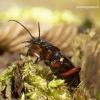 Carabus granulatus - Gumburiuotasis puošniažygis   Fotografijos autorius : Romas Ferenca   © Macrogamta.lt   Šis tinklapis priklauso bendruomenei kuri domisi makro fotografija ir fotografuoja gyvąjį makro pasaulį.