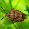 Rausvasparnė skydblakė - Carpocoris purpureipennis | Fotografijos autorius : Romas Ferenca | © Macrogamta.lt | Šis tinklapis priklauso bendruomenei kuri domisi makro fotografija ir fotografuoja gyvąjį makro pasaulį.
