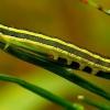 Ceramica pisi - Žirninis pelėdgalvis | Fotografijos autorius : Romas Ferenca | © Macrogamta.lt | Šis tinklapis priklauso bendruomenei kuri domisi makro fotografija ir fotografuoja gyvąjį makro pasaulį.