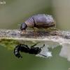 Puvėsinukas - Cercyon laminatus | Fotografijos autorius : Romas Ferenca | © Macrogamta.lt | Šis tinklapis priklauso bendruomenei kuri domisi makro fotografija ir fotografuoja gyvąjį makro pasaulį.