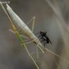 Plonoji kampuotblakė - Chorosoma schillingii  | Fotografijos autorius : Romas Ferenca | © Macrogamta.lt | Šis tinklapis priklauso bendruomenei kuri domisi makro fotografija ir fotografuoja gyvąjį makro pasaulį.