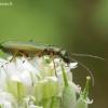 Žaliasis laibavabalis - Chrysanthia geniculata | Fotografijos autorius : Romas Ferenca | © Macrogamta.lt | Šis tinklapis priklauso bendruomenei kuri domisi makro fotografija ir fotografuoja gyvąjį makro pasaulį.