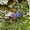 Musė - Clusiodes ruficollis  | Fotografijos autorius : Romas Ferenca | © Macrogamta.lt | Šis tinklapis priklauso bendruomenei kuri domisi makro fotografija ir fotografuoja gyvąjį makro pasaulį.